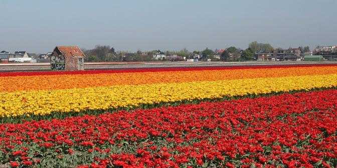 lente tulpenveld