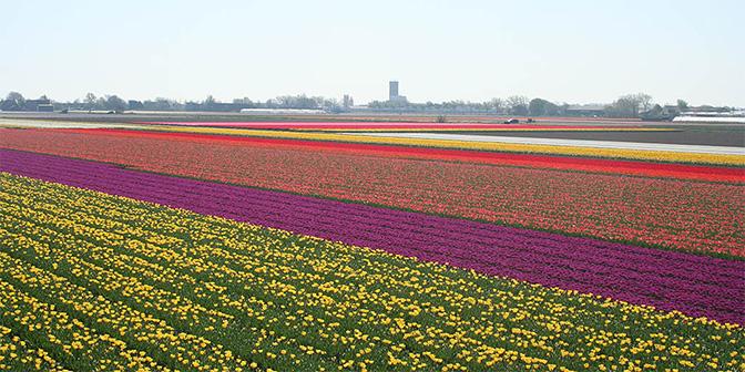 kleurrijke bollenvelden noord-holland