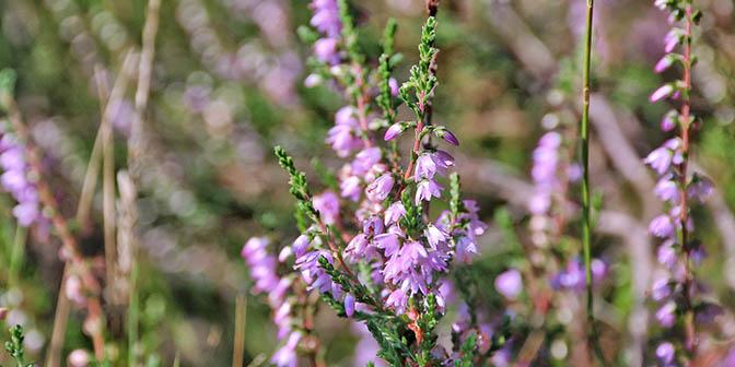 bloeiende heide limburg