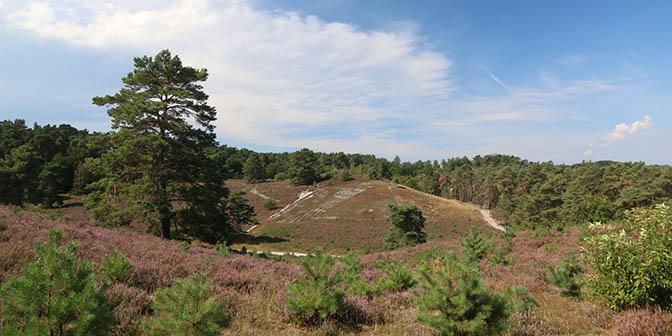 paarse heidelandsschap