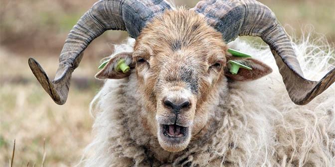 schapen drentse heide