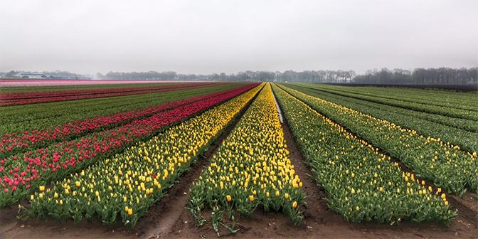 drenthe tulpen diever