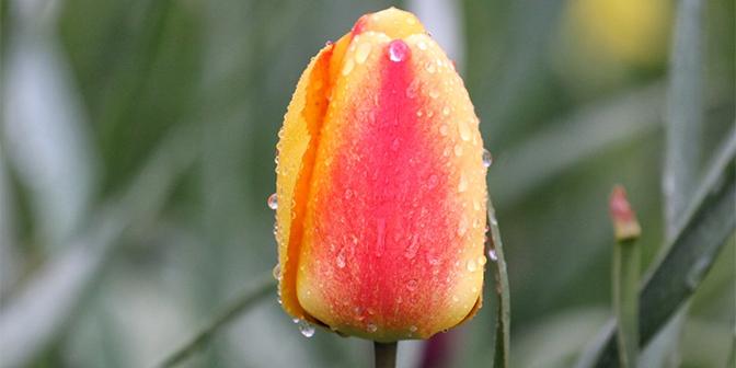 drenthe tulpen wandeling
