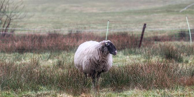 schapen drnethe tulpenroute