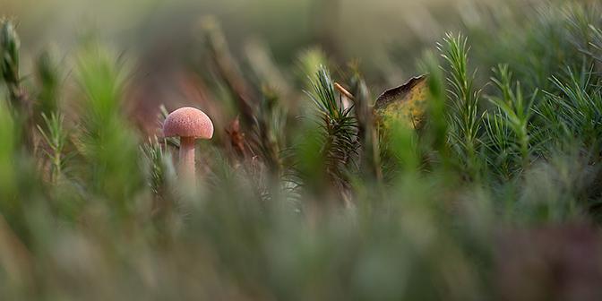 nederland paddenstoel barnsteenmosklokje
