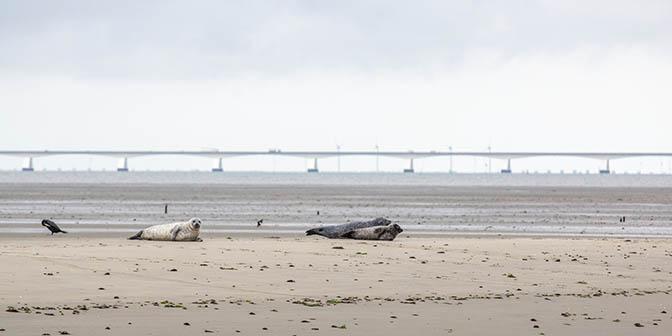 zeehonden oosterschelde zeeland