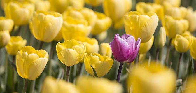 tulpen in groningen