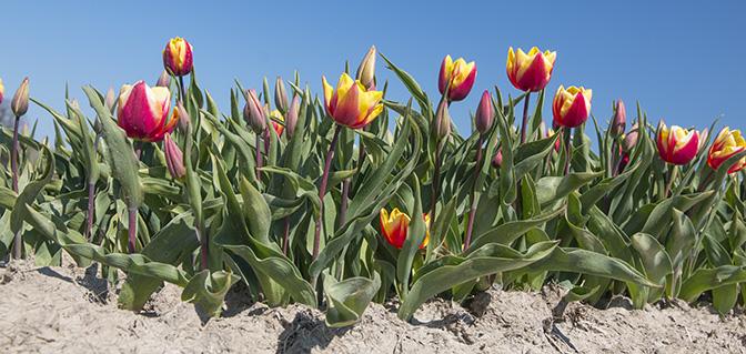 wandelen tulpen groningen
