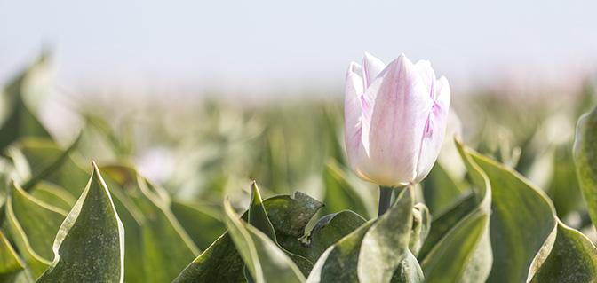tulpenroute groningen