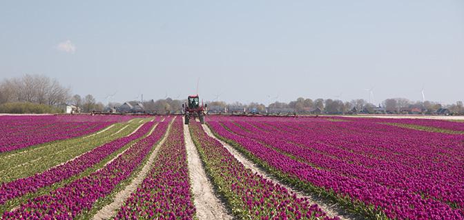 wandelen tulpenvelden groningen