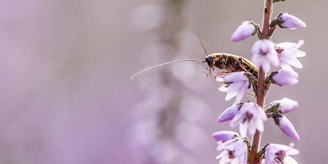 insekt bloeiende heide