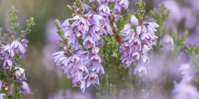 bloeiende heide veluwe