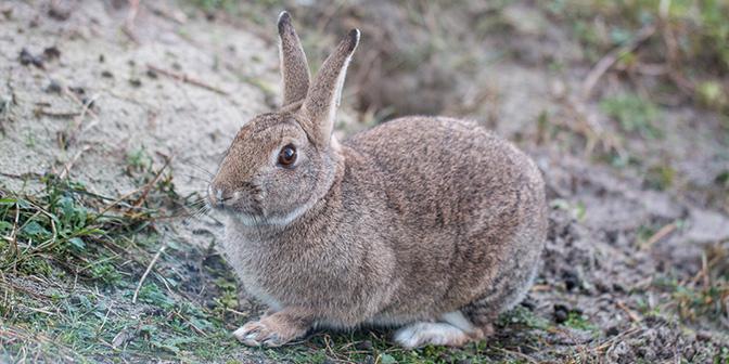 konijn sluftervallei texel