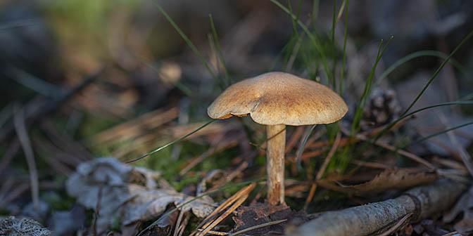 paddenstoel nederland