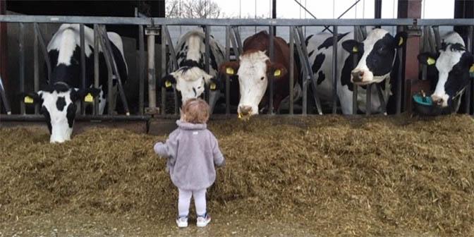 oirschot koeien