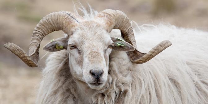 schapen dwingelderveld