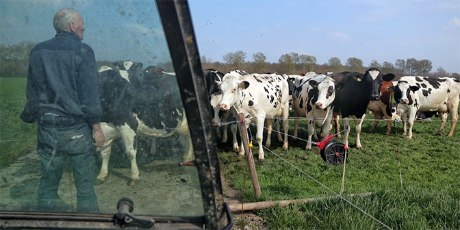 koeien flevoland