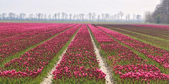 wandelen tulpenvelden flevoland