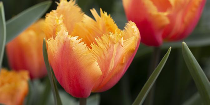 bloeiende tulpen april