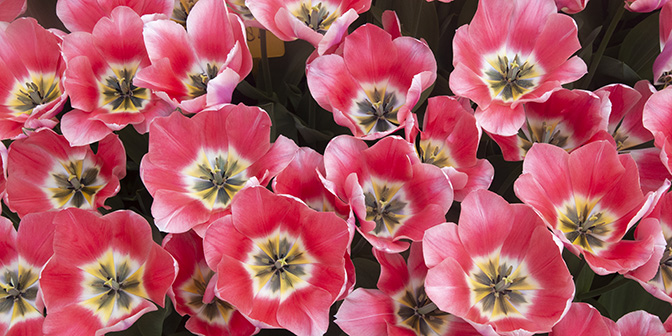 bloeiende tulpen tulpenvelden