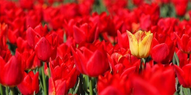 gele tulp tussen rode tulpen tulpenroute