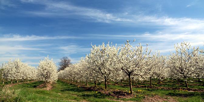 bloeiende fruitbomen limburg
