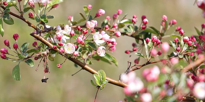 wandelen eijsden appelbloesem