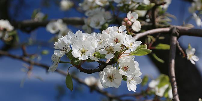 bomen in bloei