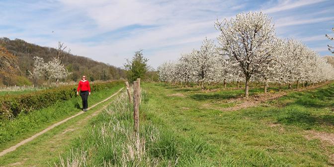 wandelen eijsden bloesem