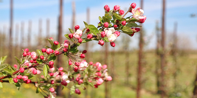 laagstamboomgaard bloesem limburg