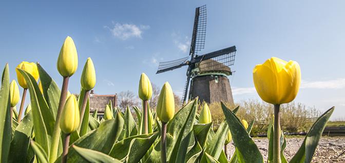 sint maartensvlotburg tulpenvelden molen
