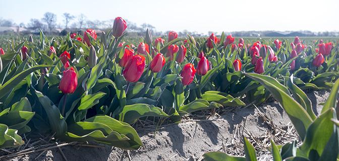 wandelen tulpenvelden noord holland
