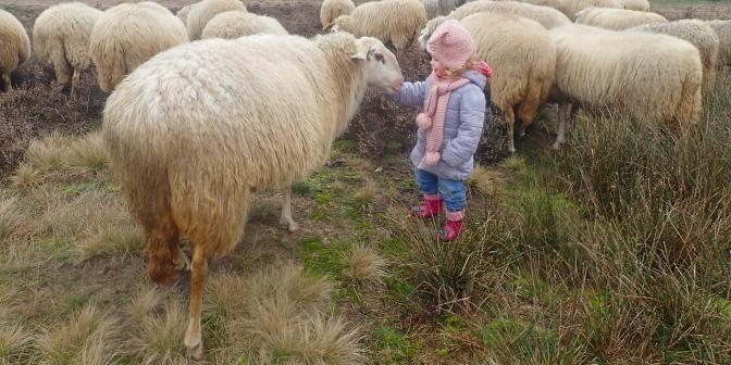 wandeling bloeiende heide schapen