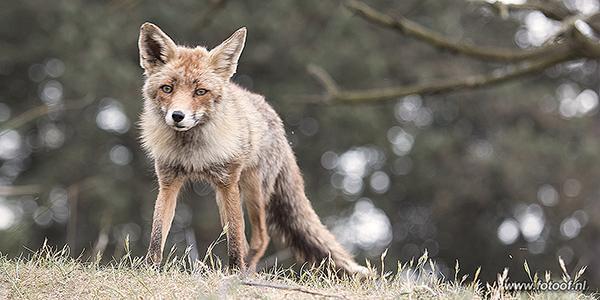 nederland waterleidingduinen vos