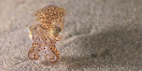 zeeland duiken sepiola