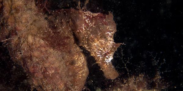 zeepaardje zeeland duiken