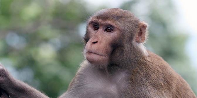 monkey tempel aap