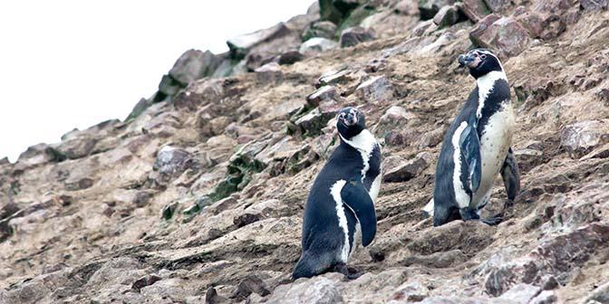 pinguins peru
