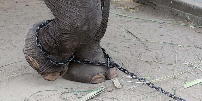 tamme olifant sri lanka