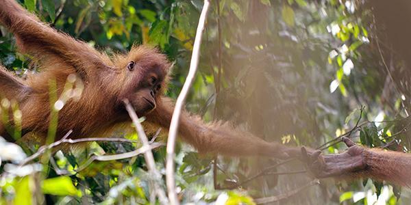 jonge orang-oetan bij voederplatform