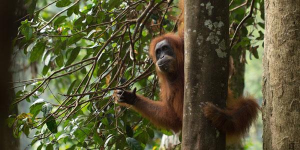 orang-oetan op Sumtra