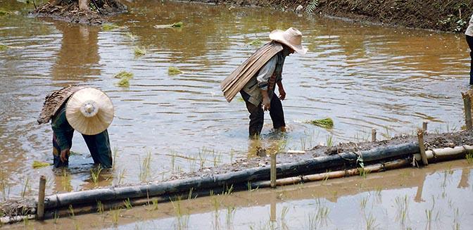 vrijwilligerswerk thailand rijstvelden
