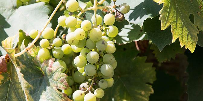 wijnrank tsjechie