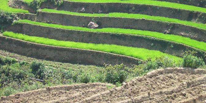 groene rijst sapa