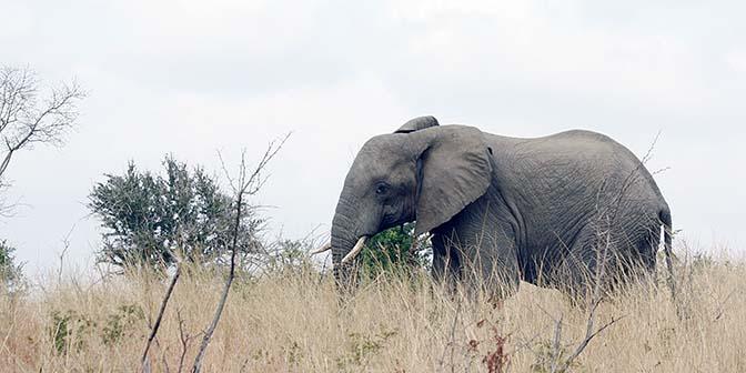 hluhluwe olifant