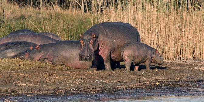 nijlpaard sint lucia